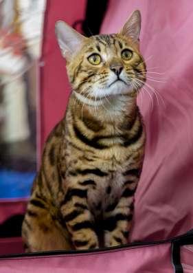 Бенгальский кот. Вязка в Туле Фото 1