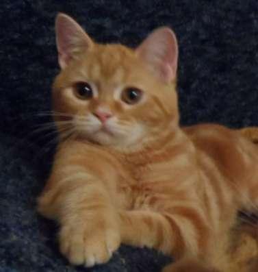 Шотландские котята страйт редкого окраса