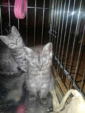 Отдам породистых котят в Ярославле Фото 2