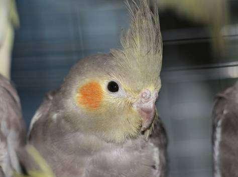 Корелла (Попугай)
