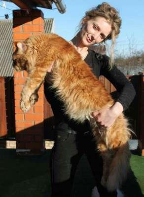Питомник Lakshestar предлагает котенка мейн кун мальчика в Москве Фото 1