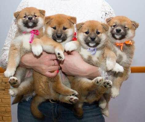 Фотосессия с щенками Сиба