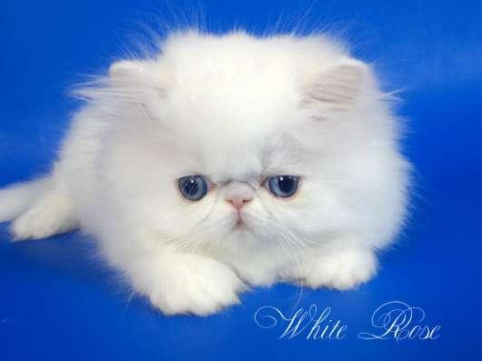 Элитный персидский котенок Xmas белого окраса голубоглазый в Москве Фото 2
