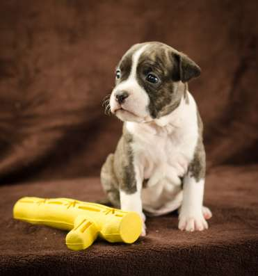 For Sale American Staffordshire Terrier puppy UKU в г. Киев Фото 2