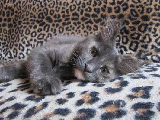 Котята мейн-кун в Уфе Фото 1