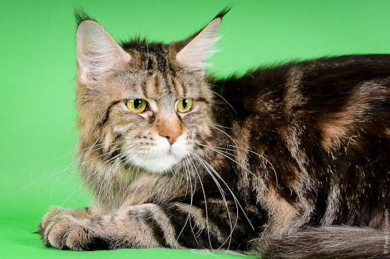 Коты и кошки, выведенные из разведения