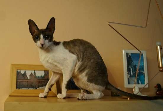 Эксклюзивных окрасов малыши / котята в Москве Фото 5