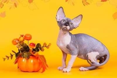 Сфинксы - магические кошки в Екатеринбурге Фото 2