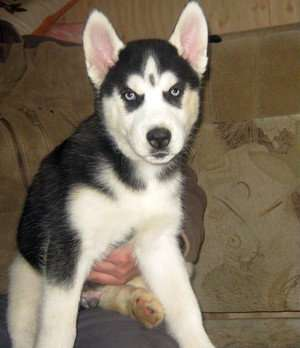 Сибирской хаски черно-белые щенки.
