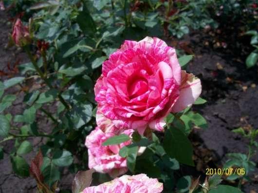 Кусты роз в ассортименте в Ейске Фото 2