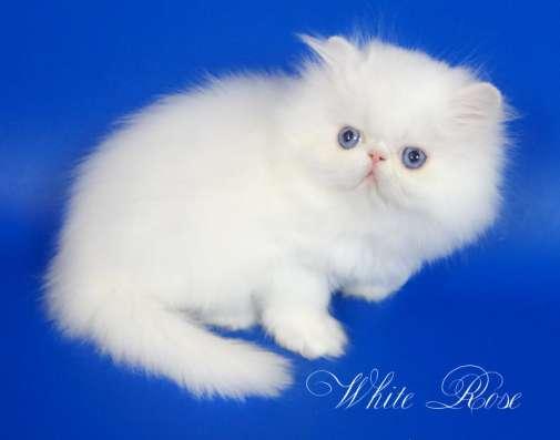 Элитный персидский котенок Xmas белого окраса голубоглазый