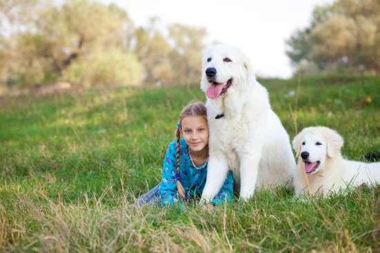 Овчарка Белая Итальянская Маремма Охрана Дома и Семьи в Краснодаре Фото 1