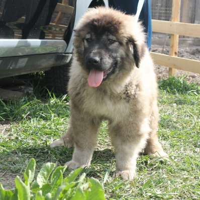 Продаются подрощенные щенки кавказской овчарки в г. Васильков Фото 5