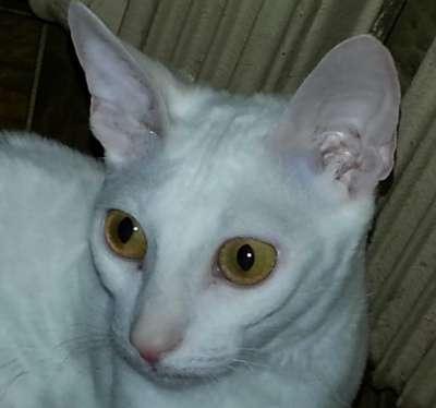 Отдам даром Кошка Корниш рекс 1 год  белая