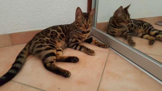 Бенгальские Кошки в г. Берлин Фото 5