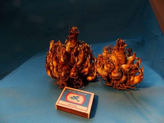 Луковицы Туберозы