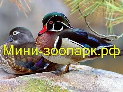 Декоративные утки