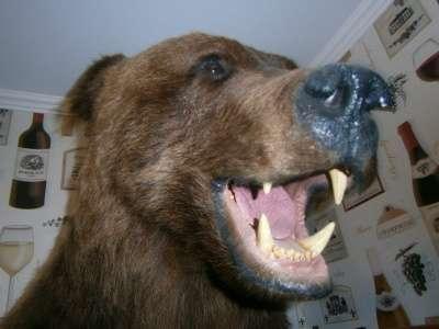 Чучело головы бурого медведя в Новосибирске Фото 2