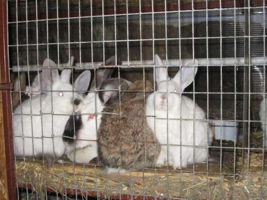 Породистые кролики на завод в Волгограде Фото 1