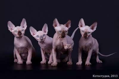 Сфинксы - магические кошки в Екатеринбурге Фото 1