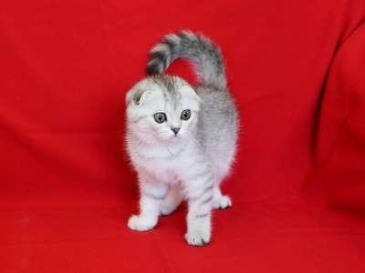 Шотландские вислоухие котята ArtsFamily в Ростове-на-Дону Фото 5
