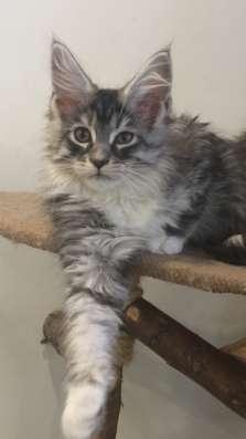 Котята Мейн Кун в г. Самара Фото 1