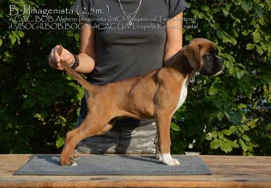 Боксер щенок в г. Киев Фото 4