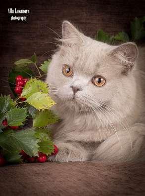 Продается! Британский длинношерстный котик в Санкт-Петербурге Фото 1
