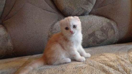 Шотландские котята вислоушки и страйты в Ульяновске Фото 3