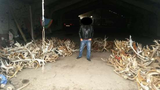 Продам рога лося 20 тонн