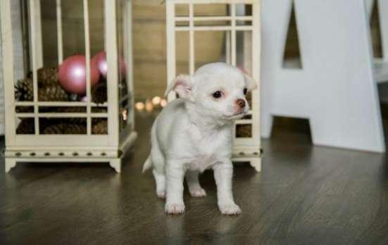Красивые щеночки породы Чихуахуа! в Кирове Фото 2