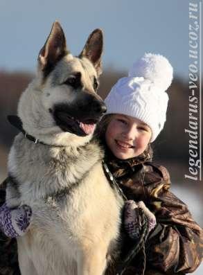 Щенков, собак породы восточноевропейская овчарка в Москве Фото 3