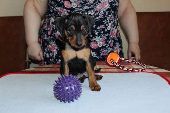 Предлагаем щенка цвергпинчера рожден 21.07.16.г