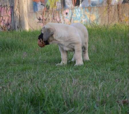 Английский мастиф щенки гиганты тигровые и палевые