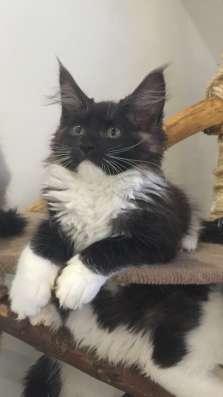Котята Мейн Кун в г. Самара Фото 2