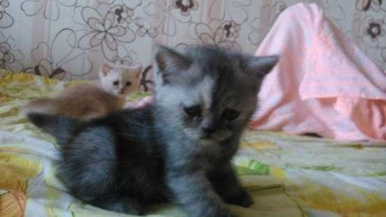 британских котят