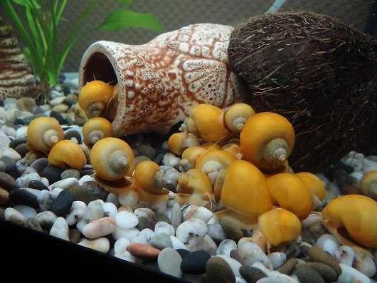 Улитка Ампулярия украшение вашего аквариума!