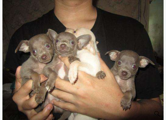 Продаются щенки той-терьера